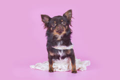 Small chihuahua isolated on pink background Stock Photo