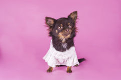 Small chihuahua isolated on pink background Royalty Free Stock Photo
