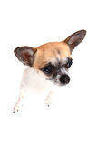 Small chihuahua isolated. On the white background Royalty Free Stock Images