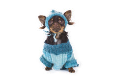 Small chihuahua isolated on white background Royalty Free Stock Images