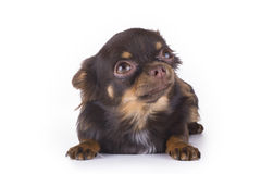 Small chihuahua isolated on white background Royalty Free Stock Photography