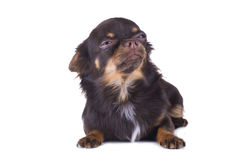 Small chihuahua isolated on white background Stock Images