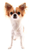 Small chihuahua isolated. On the white background Stock Photos