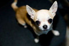 Small Chihuahua Looking Up. A small Chihuahua dog is looking up at the camera Stock Photos