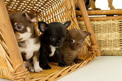 Small chihuahua puppies royalty free stock photo