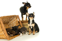 Small chihuahua puppies playing with mom Stock Images