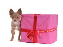 Small chihuahua puppy with big gift box. Chihuahua puppy with gift box, isolated on white background Royalty Free Stock Image