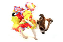 small chihuahua puppy is dancing Stock Image