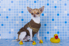 Small chihuahua puppy at heart Royalty Free Stock Photos