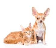 Small chihuahua puppy and maine coon cat together. isolated on white Stock Photos