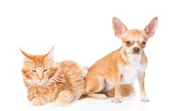 Small chihuahua puppy and maine coon cat together. isolated on white Royalty Free Stock Photo
