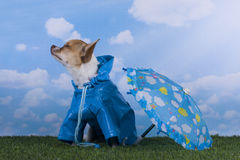 Small chihuahua puppy playing in the rain Royalty Free Stock Photography