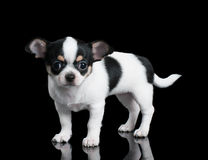 Small Chihuahua puppy stands on black background Royalty Free Stock Photo