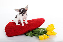 Small chihuahua puppy with yellow flowers and red heart Stock Images