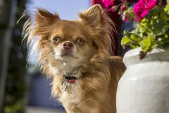 Small chihuahua starring in camera. Small red chihuahua in the garden standing by a flower starring into the camera Stock Photography