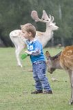 Small child between the fallow deer Royalty Free Stock Image