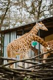 A small child kordofan giraffe rubs against the background of parents in cloudy weather at the Basel Zoo in Switzerland.  Stock Images