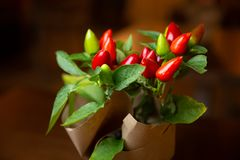 Small Chilli Pepper Plant Growth, A group of red ornamental decorative peppers. royalty free stock image