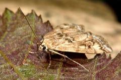 Small china-mark (Cataclysta lemnata) micro moth brown form Royalty Free Stock Photo