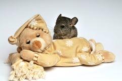 Small chinchilla Royalty Free Stock Photo