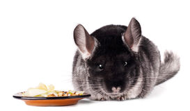 Small chinchilla eating from a saucer. On white background Stock Photos