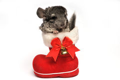 Small chinchilla in red Santa Claus boot Royalty Free Stock Image
