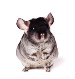 Small chinchilla on white background Royalty Free Stock Images