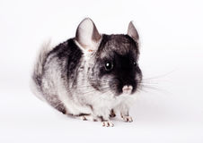 Small chinchilla on white background Royalty Free Stock Image