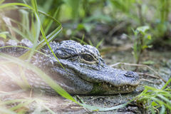 Small chinese alligator resting in the vegetation. A small chinese alligator, Alligator sinensis, is resting between the vegetation near a pond Stock Photo