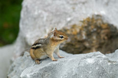 A small chipmunk. On a rock Stock Photography