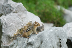 A small chipmunk. On a rock Stock Photo