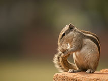Small chipmunk Royalty Free Stock Photos