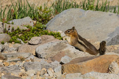 Small Chipmunk. A small chipmunk admist the rocks Royalty Free Stock Image