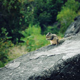 Small chipmunk eating something. Aged photo. Stock Photography