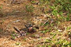 Chipmunk eats the cedar cone. royalty free stock photos