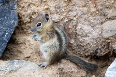 Small chipmunk Stock Photography