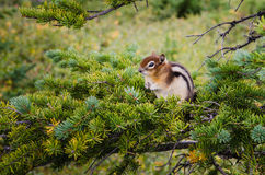 Small chipmunk sitting on a green tree Royalty Free Stock Image