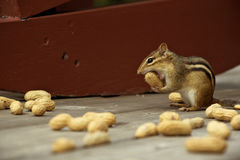 Small chipmunk taking a big bite. Royalty Free Stock Photography