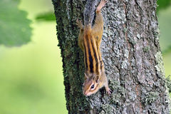 Small chipmunk on trunk Stock Image