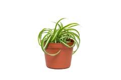 Small Chlorophytum in flowerpot Stock Photos