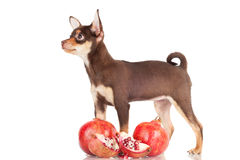 Small chocolate puppy with pomegranates Royalty Free Stock Photos
