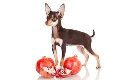 Small chocolate puppy with pomegranates Royalty Free Stock Photo