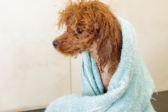 Small chocolate toy poodle wrapped in a blue towel after bathroom Royalty Free Stock Photo