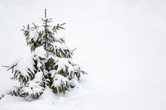 Small Christmas tree covered with snow and copy space. On white background of snowy winter Stock Photo