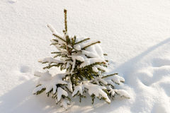 Small Christmas tree covered with snow, white background. Russian nature stock photo