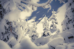 A small Christmas trees covered with snow in the winter forest Royalty Free Stock Image