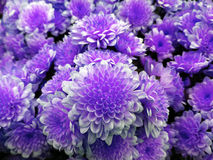 Small chrysanthemum. bright white-violet flowers. background of flowers. for design. Royalty Free Stock Photography