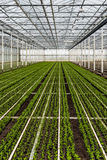 Small chrysanthemum cuttings growing in a large nursery Royalty Free Stock Photography