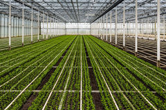 Small chrysanthemum cuttings growing in a large nursery Royalty Free Stock Photos