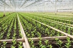 Small Chrysanthemum cuttings in a modern plant nursery Royalty Free Stock Photos